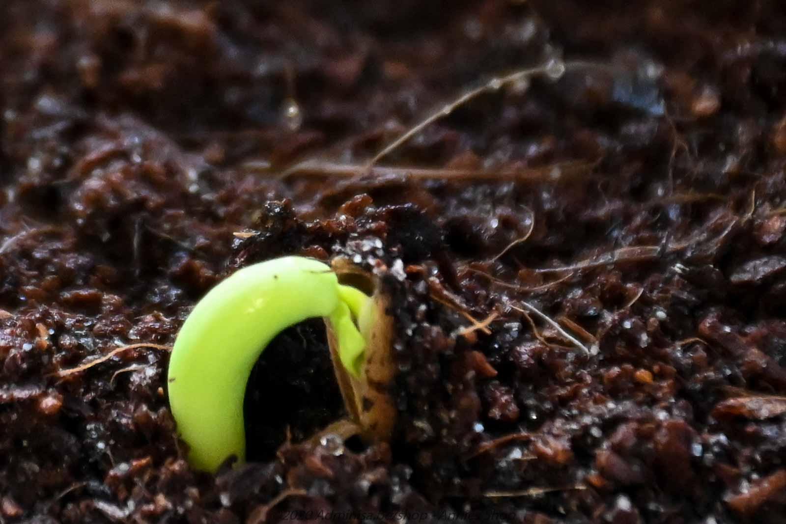 Adenium Obesum from seeds