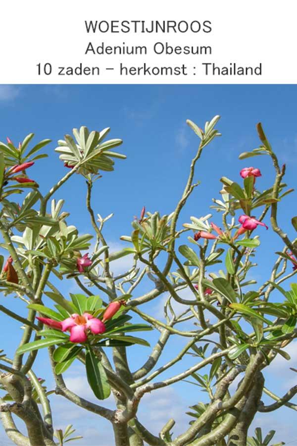 Woestijnroos zaadjes Adenium Obesum Seeds