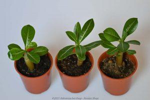 Woestijnroosje baby plantje